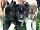 Siberian Husky Puppy For Sale in INDIANAPOLIS, IN