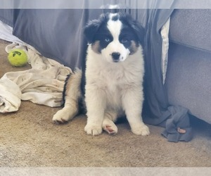 Miniature American Shepherd Puppy for sale in STONE LAKE, WI, USA