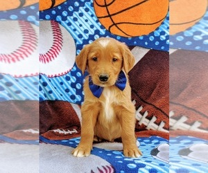 Golden Retriever Puppy for sale in CHRISTIANA, PA, USA
