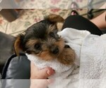 Small #13 Yorkshire Terrier