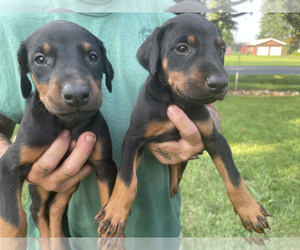Doberman Pinscher Puppy for sale in BRACEVILLE, OH, USA