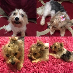 Yorkshire Terrier Puppy For Sale in WINDER, GA, USA