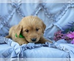 Small Golden Retriever