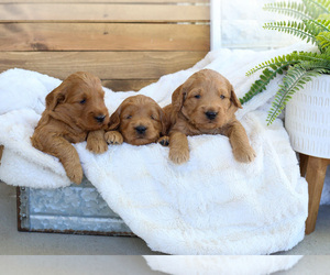 Goldendoodle (Miniature) Puppy for sale in FARR WEST, UT, USA