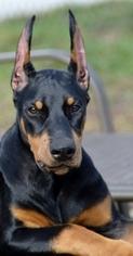 Doberman Pinscher Puppy for sale in ATLANTA, GA, USA
