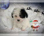 Small #1 Maltese-Maltipoo Mix