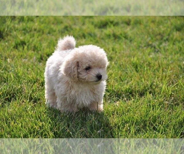 Medium Photo #2 Maltipoo Puppy For Sale in EMIT, NC, USA