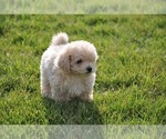 Small Photo #2 Maltipoo Puppy For Sale in EMIT, NC, USA