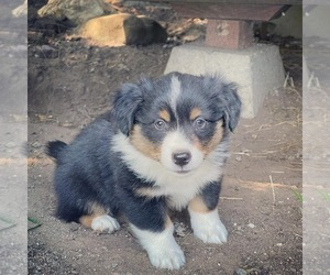 Aussie-Corgi Puppy for sale in MYRTLE CREEK, OR, USA