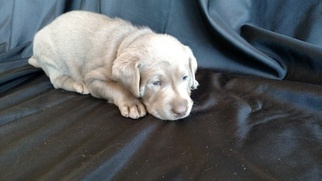 Labrador Retriever Puppy For Sale in DURANGO, CO