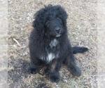 Bernedoodle Puppy Elliot