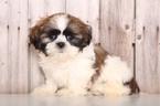Shih Tzu Puppy For Sale near 43050, Mount Vernon, OH, USA