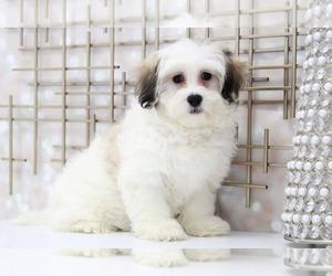 Zuchon Puppy for sale in MARIETTA, GA, USA