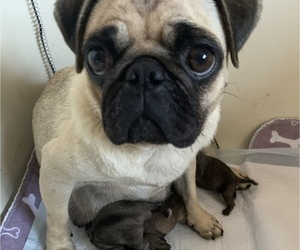 Mother of the Pug puppies born on 09/30/2020