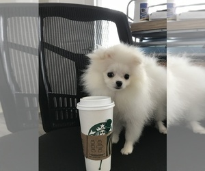 Pomeranian Puppy for sale in HILO, HI, USA