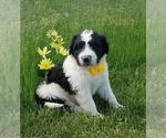 Puppy 8 Saint Berdoodle