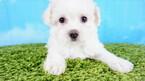 Maltipoo Puppy For Sale in LA MIRADA, CA, USA