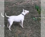 Small #74 Bull Terrier
