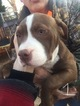 American Pit Bull Terrier Puppy For Sale near 73644, Elk City, OK, USA