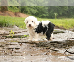 Old English Sheepdog-Poodle (Toy) Mix Puppy for Sale in CHILLICOTHE, Missouri USA