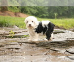 Old English Sheepdog-Poodle (Toy) Mix Puppy For Sale in CHILLICOTHE, MO, USA