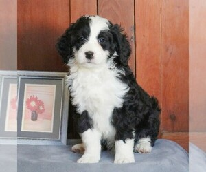 Bernedoodle Puppy for sale in FREDERICKSBRG, PA, USA