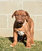 Dogue de Bordeaux Puppy For Sale in ADAMS MILLS, Ohio,