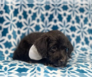 Wapoo Puppy for sale in LAKELAND, FL, USA