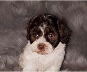 Zuchon Puppy for sale in OAK PARK, IL, USA