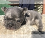 Small #41 French Bulldog