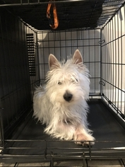 West Highland White Terrier Puppy for sale in CAPITOL HEIGHTS, MD, USA