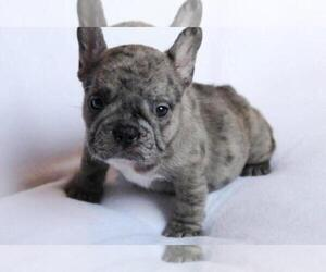 French Bulldog Puppy for sale in HIALEAH, FL, USA