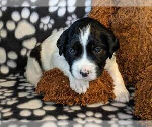 English Springer Spaniel Dog for Adoption in SHERBURN, Minnesota USA