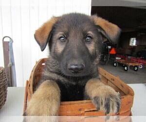 German Shepherd Dog Puppy for sale in TRAVERSE CITY, MI, USA
