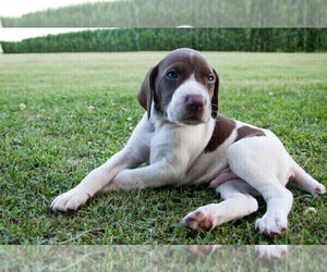 German Shorthaired Pointer Puppy for Sale in BLAINSPORT, Pennsylvania USA
