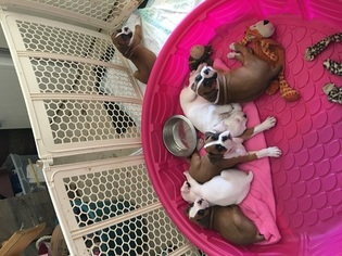 Boxer Puppy For Sale in BOONSBORO, MD