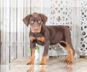 Doberman Pinscher Puppy for sale in MOUNT VERNON, OH, USA