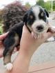 Australian Shepherd Puppy For Sale in LAKE STEVENS, Washington,