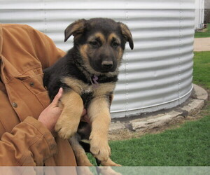 German Shepherd Dog Dog for Adoption in COLUMBUS, Nebraska USA