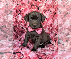 Labrador Retriever Puppy for sale in KIRKWOOD, PA, USA