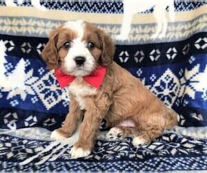 Cavapoo Dog for Adoption in LANCASTER, Pennsylvania USA