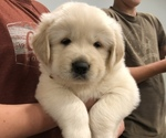 Small Golden Pyrenees