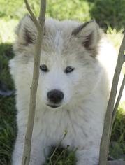 Siberian Husky Puppy for sale in OAKDALE, CA, USA