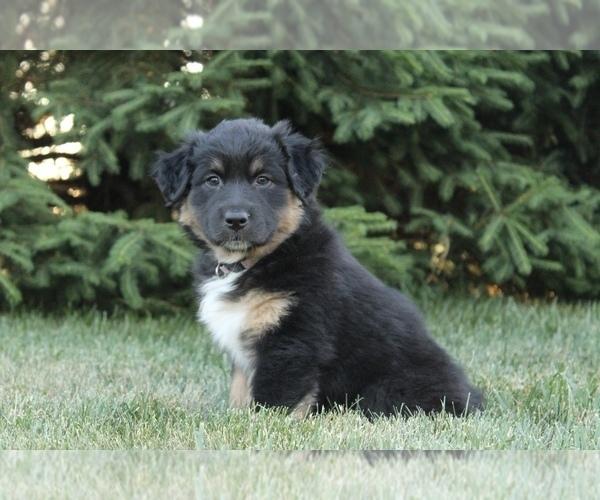 Medium Photo #7 Australian Shepherd Puppy For Sale in CARMEL, IN, USA