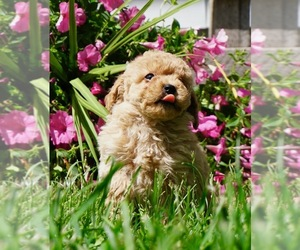 Goldendoodle Puppy for Sale in NAPPANEE, Indiana USA