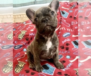 French Bulldog Puppy for sale in PEORIA, AZ, USA