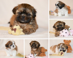 View Ad Shih Tzu Litter Of Puppies For Sale Near Montana Condon