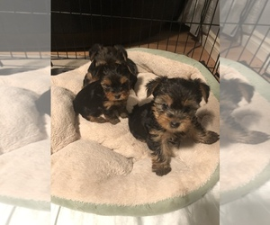 Yorkshire Terrier Puppy for sale in BATTLE GROUND, WA, USA