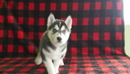 Siberian Husky Puppy For Sale in KENSINGTON, OH, USA