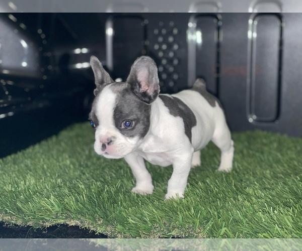 Medium Photo #2 French Bulldog Puppy For Sale in LAS VEGAS, NV, USA
